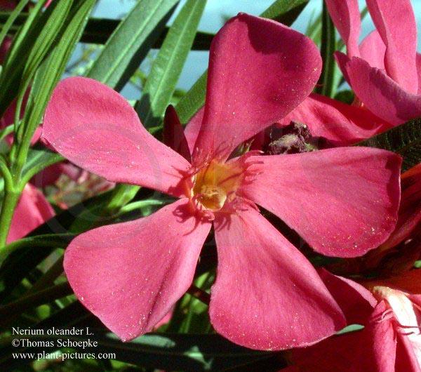 Oleander Standort Garten: Thomas Schoepke Plant Image Gallery