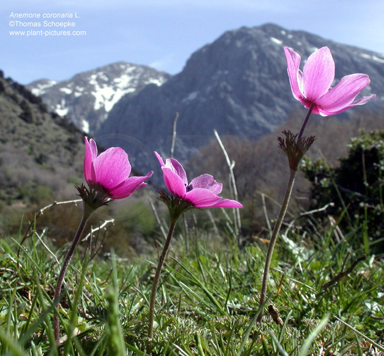 Thomas schoepke plant image gallery ranunculaceae - Flowers native to greece a sea of color ...