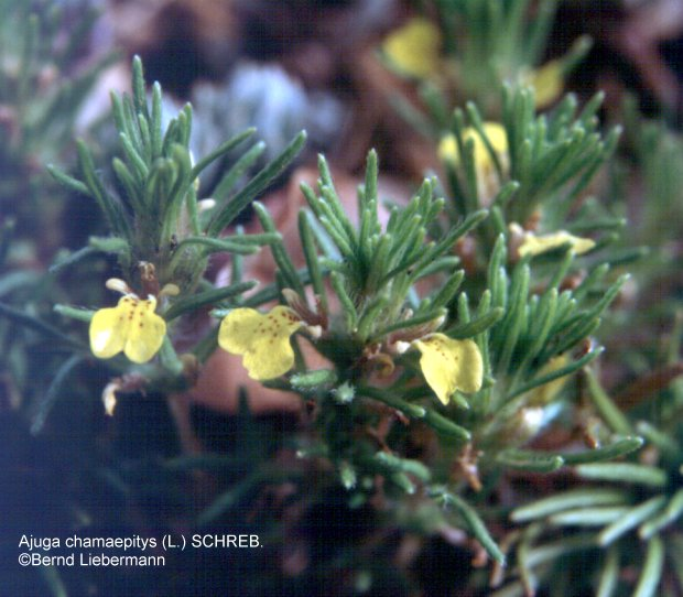 Bernd Liebermann Plant Photo Gallery