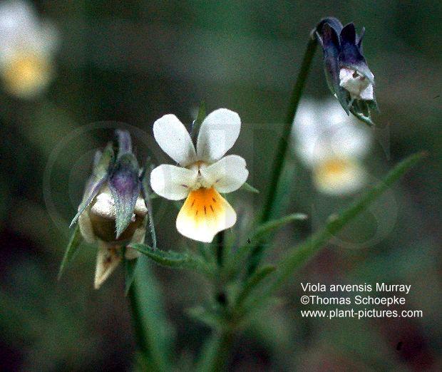 gynoecium thomas schoepke plant image gallery violaceae